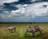 Zebras in savanna of Nairobi National Park. Nairobi skyline is visible on the horizon. Kenya poster