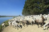 Herd of sheep moving in a way poster