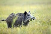 Boar in the wild, in the clearing. poster