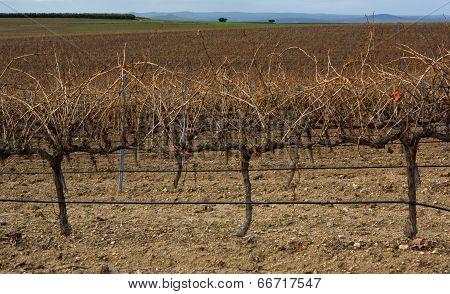 Spanish Vineyard At Winter