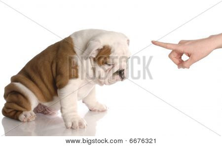 bad dog - persons hand wagging finger at nine week old english bulldog puppy poster