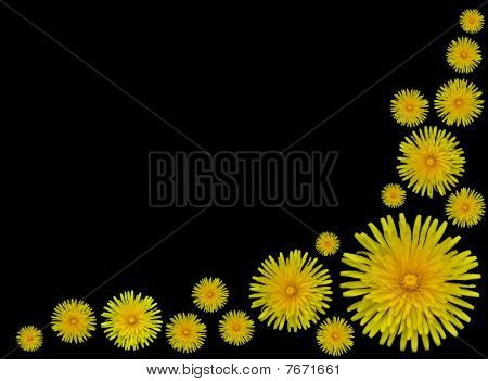 Yellow Dandelion Flowers- Taraxacum Officinale On Black Background