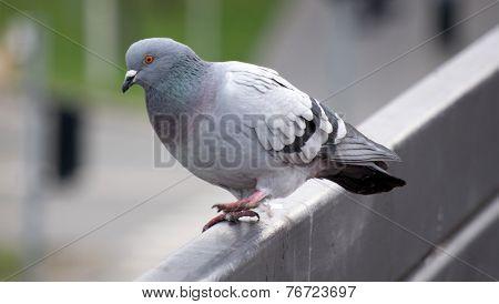 Pigeon running away