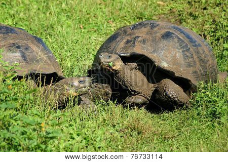 Free-living Galapagos Giant Tortoises On Santa Cruz Island, Galapagos, Ecuador