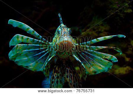 Common  Lionfish or Devil firefish (Pterois miles)