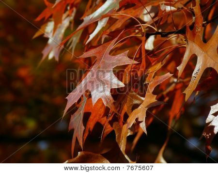 Autumn Oak Leaves - Fall Colors