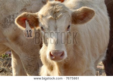 Rodeo calf waiting his turn