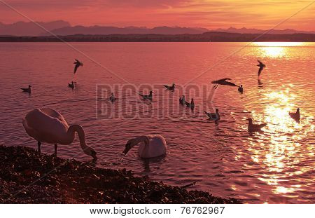Sunset Scenery Starnberg Lake With Group Of Birds