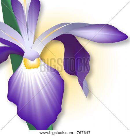 Iris - Close-up