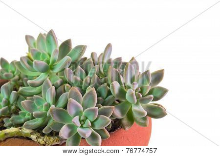 Succulent plant known as Pachyphytum in clay pot on isolate white background poster