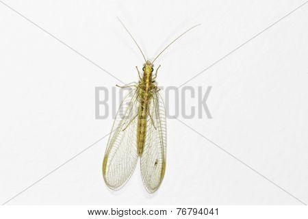 Lacewing (chrysoperla Carnea)