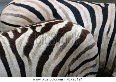 Damara zebras (Equus burchelli antiquorum).