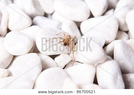 White Stone With Brown Spider