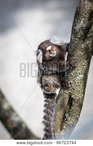 Common marmoset or White-eared marmoset