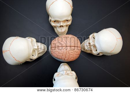 Four Skulls Looking at Brain