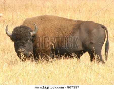 bison in sun