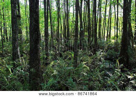 Natural Swamp Landscape at Six Mile Cypress Slough Preserve Fort Myers Florida poster
