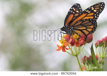 Danaus plexippus (Monarch)