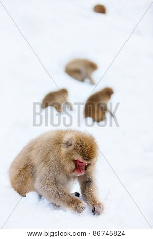 Snow Monkeys Japanese Macaques on snow at winter in Nagano, Japan
