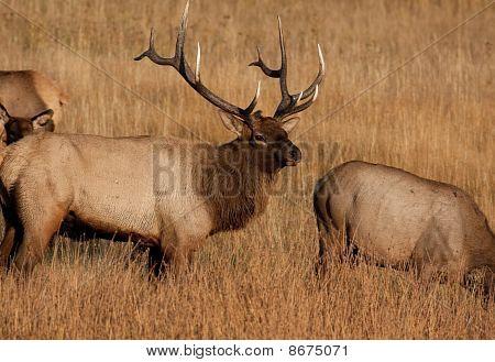 Bull Elk with Herd