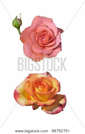 Two Roses Isolated On White