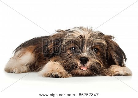 A Laying Beautiful Smiling Dark Chocolate Havanese Puppy Dog