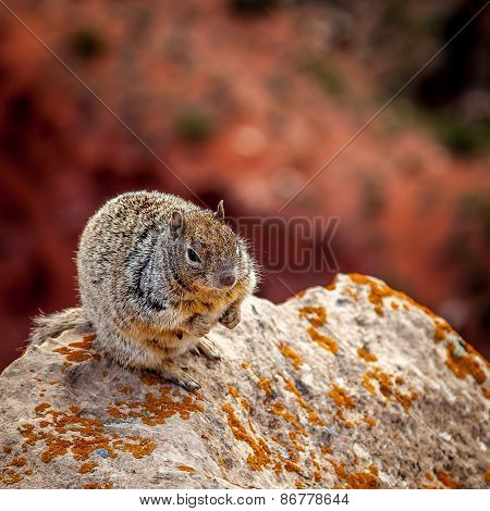 Squirrel On A Rock