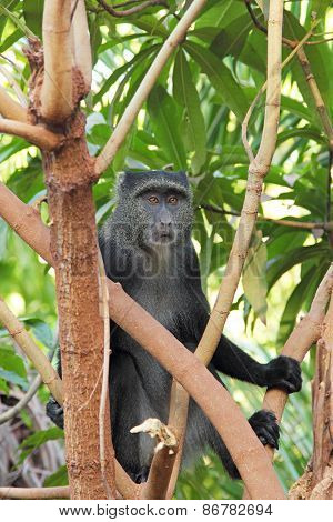 Blue Diademed Monkey Between Branches