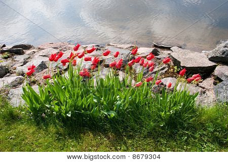 Beautiful Tulips In Garden
