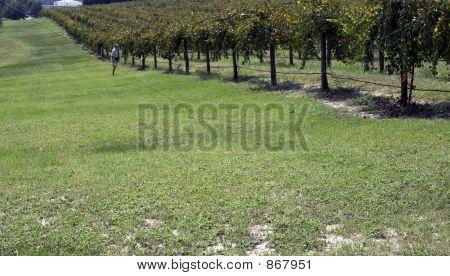 Old Man Walking Along Vineyard