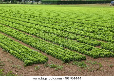 Field Of Lettuce In The Plains In Summer