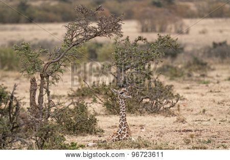 Calf Of  Masai Giraffe