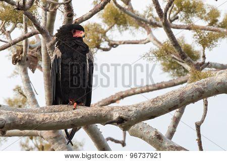 Bateleur Eagle (terathopius Ecaudatus) Perched On One Foot