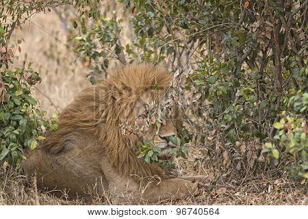 African Lion Enjoying Shadow In Bushes