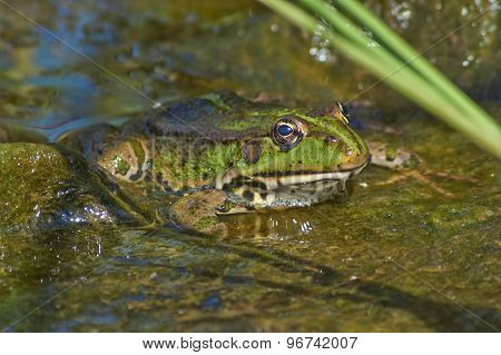 Frog  In The Shallow Water Near The Shore.