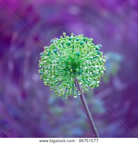 Decorative Natural Background With  Flower Of Onion With Rain Drops