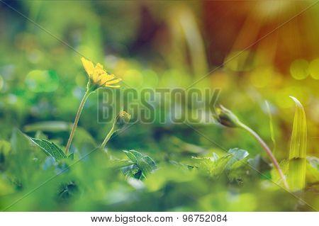 Climbing Wedelia Flower In Vintage Style