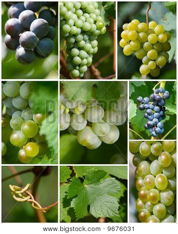 Set Of Grape Photo
