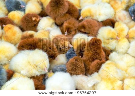 Closeup Of Chicks