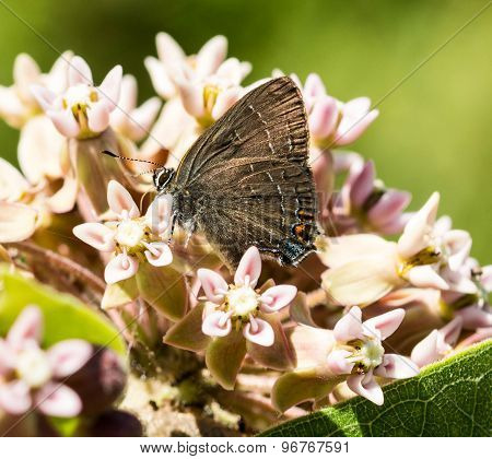 Edward's Hairstreak Butterfly