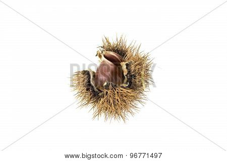 Chestnut Cupule