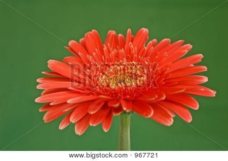 Close-Up Gerbera (Redish-Orange) W/Green Bkgd