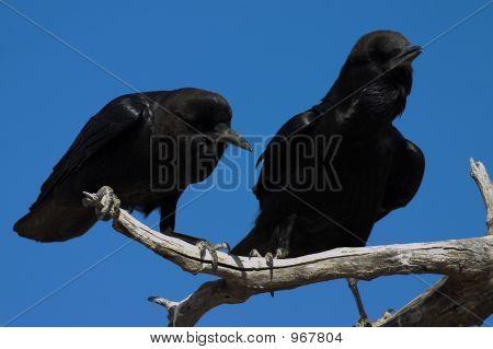Cape Crows