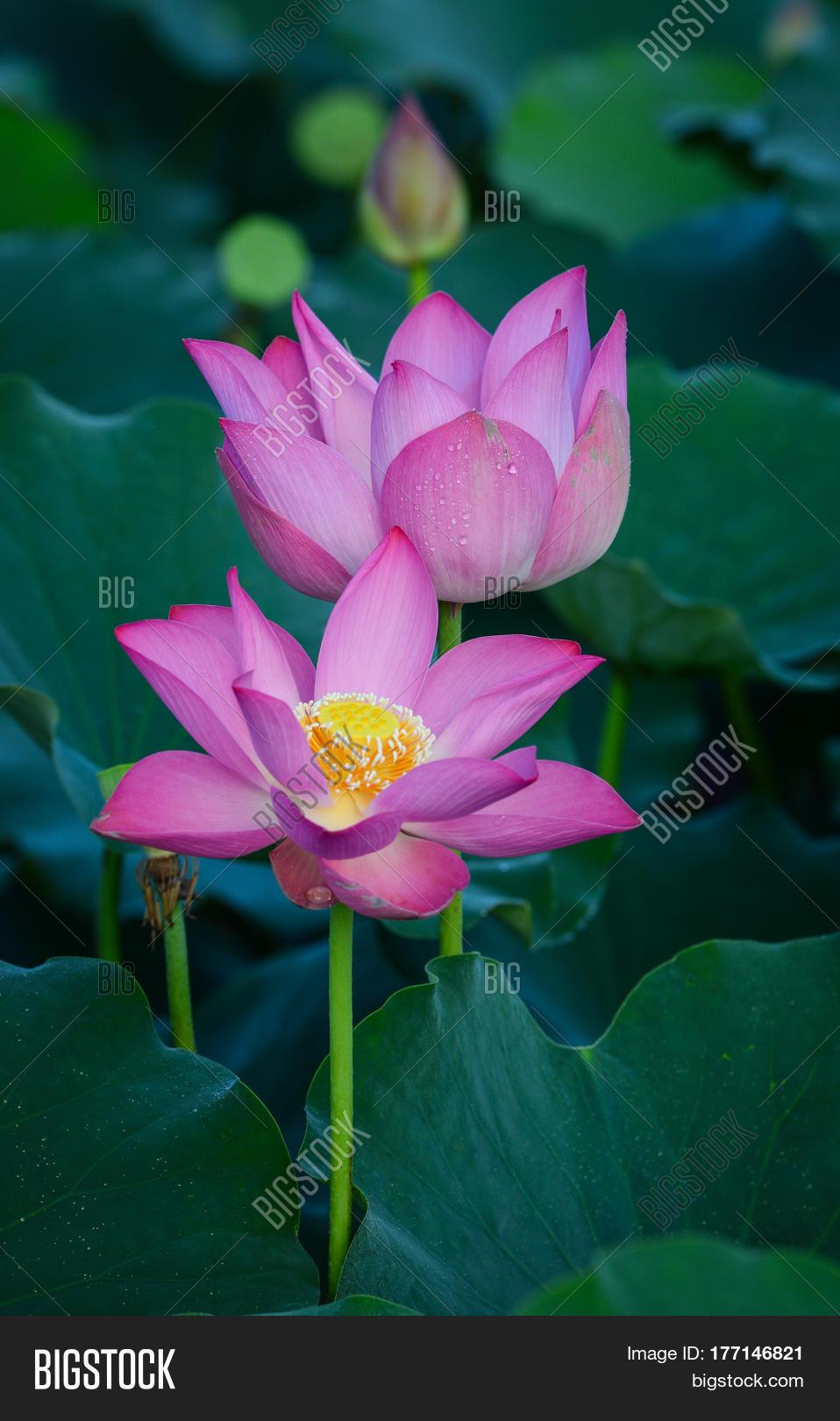 Lotus flower blooming image photo free trial bigstock lotus flower blooming at summer time izmirmasajfo