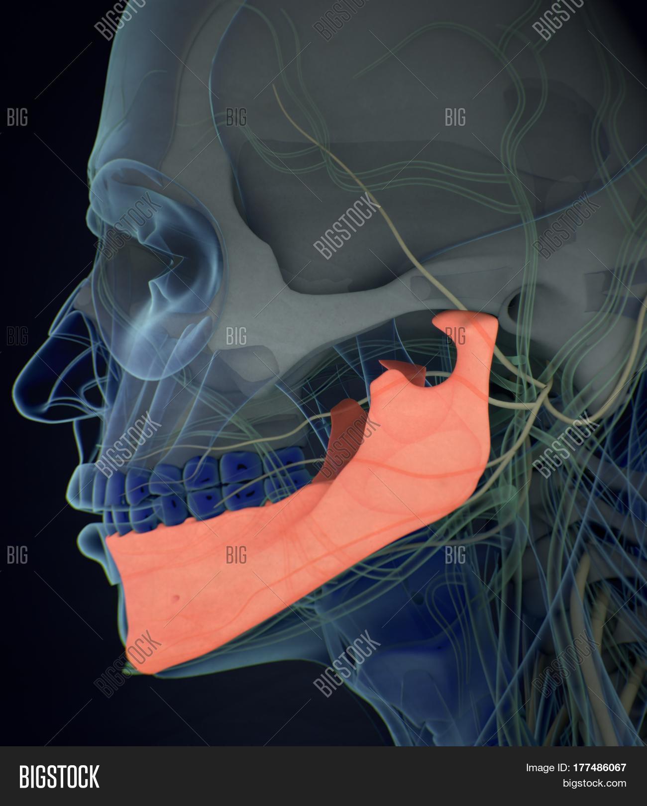 Jawbone Mandible Image Photo Free Trial Bigstock