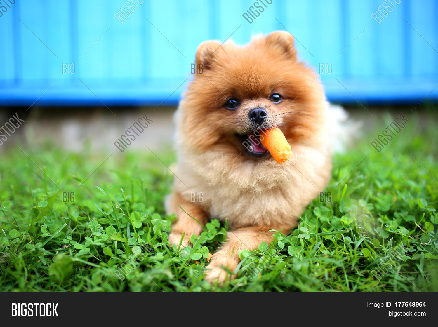 Great Pomeranian Canine Adorable Dog - 177648964  Photograph_512569  .jpg