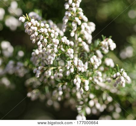 detail of erica flower in a meadow