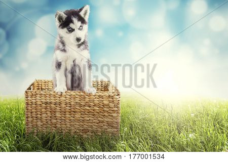 Portrait of a cute husky puppy looking at the camera while standing in the wicker basket with a blue light glitter in the background