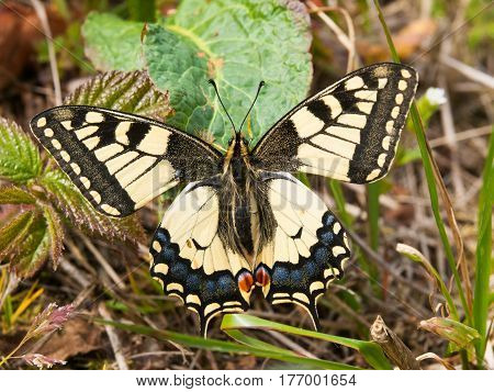 Old world swallowtail - Papilio machaon -european butterfly protected by law