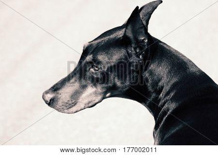 A portrait of The Black Doberman Pinscher.